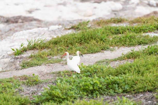 two-white-ibis-birds-walking-standing-on-green-grass-gro